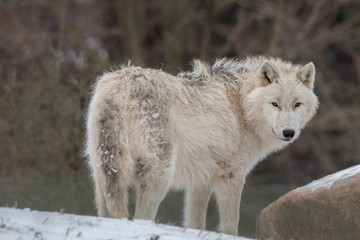 Arctic Wolf standing in the snow, British Columbia, Canada