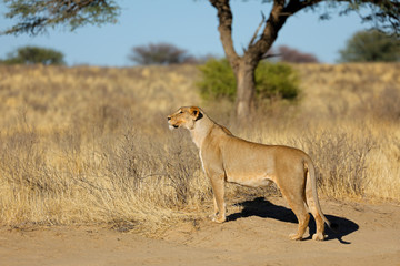 Alert lioness (Panthera leo) in natural habitat, Kalahari desert, South Africa.