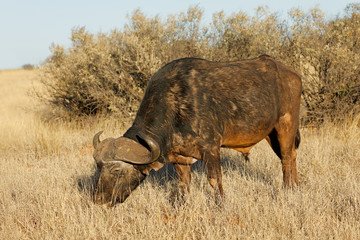 An African buffalo (Syncerus caffer) grazing in grassland, Mokala National park, South Africa.