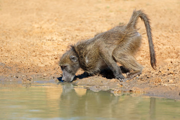 Chacma baboon (Papio ursinus) drinking water, Mkuze game reserve, South Africa.