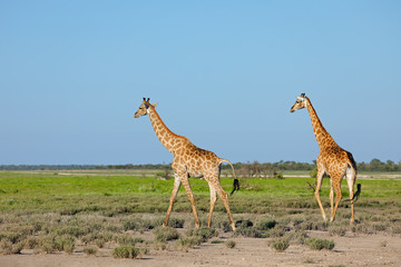 Giraffes (Giraffa camelopardalis) walking over the plains of Etosha National Park, Namibia.