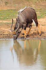 Male Nyala antelope (Tragelaphus angasii) drinking water, Mkuze game reserve, South Africa.