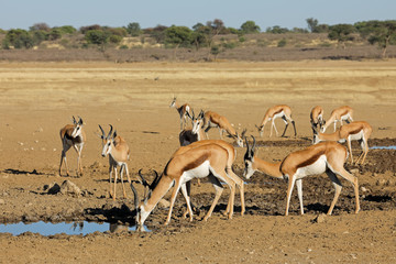 Herd of springbok antelopes (Antidorcas marsupialis) at a waterhole, Kalahari desert, South Africa.