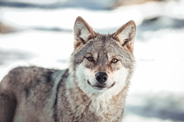 Wild wolf in winter forest near rock hill in sunny day in Les Angles, Pyrenees, France