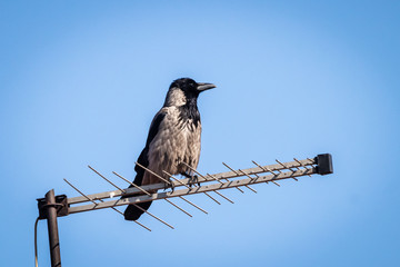 Raven or corvus corax standing on old TV antenna on the roof of house
