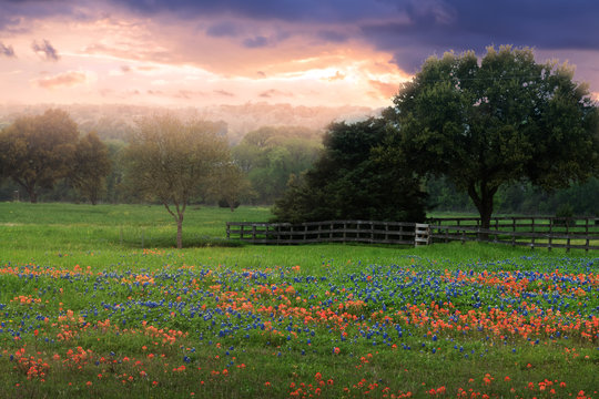 Field with bluebonnets and fence at sunset. Texas, United States