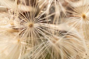 white dandelion seedling macro pattern