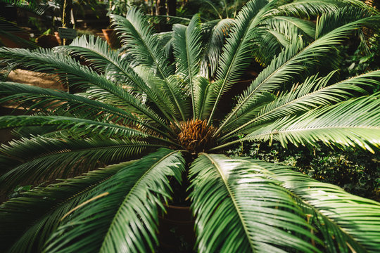 Cropped photo of palm tree leaf in Botanical garden. Attalea speciosa green leaves in greenhouse, babassu oil. South america subtropical plants. Beautiful sunlight. Nature and ecology concept.