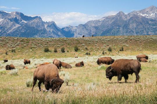 Grazing Bison - Grand Tetons National Park - Wyoming - Buffalo