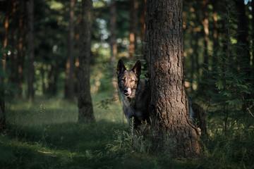 dog in the forest peeps. German Shepherd in nature. mystic pet in wood