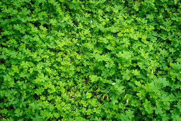 Overhead view detail of patch of wild clover with dew drops. Green, nature background