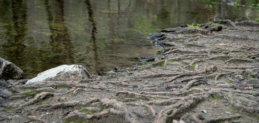 Part of river bank in woodlands with dozens of tree roots zig-zagging to the water. Shallow focus