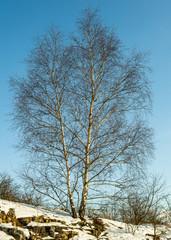 White Birch tree on a hill