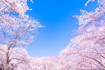 Fotobehang Kersenbloesem 満開の桜と青空