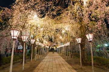 三嶋大社 夜桜 Mishima Taisha Night cherry blossom