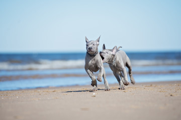 two thai ridgeback puppies playing on the beach