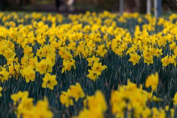 Door stickers Narcissus Gele narcis