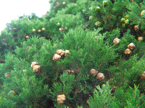 cypress cedar plant with three seed cones surrounded with dark green scale like leaves
