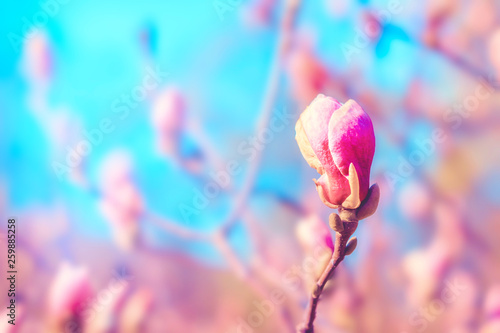 Pink Magnolia Tree Flowers Bud In Spring Nature Floral Blossoming