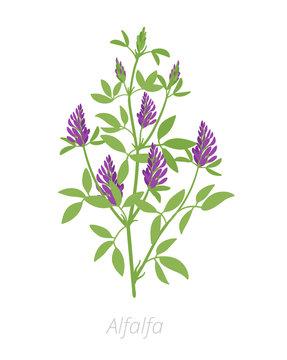 Alfalfa plant. Medicago sativa. Lucerne Agriculture cultivated plant. Green leaves. Flat vector color Illustration clipart.