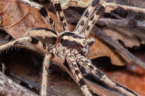 Marbled huntsman spider foraging on the rainforest floor