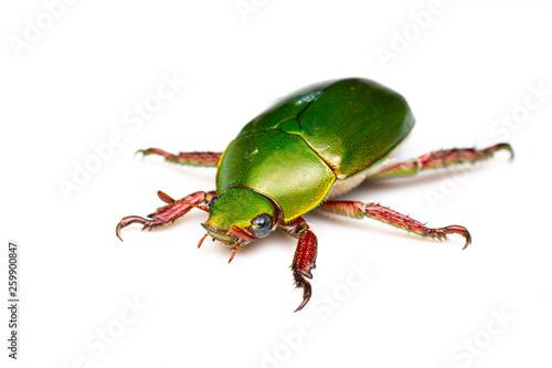 Christmas Beetle.Green And Red Metallic Christmas Beetle Anoplognathus Sp