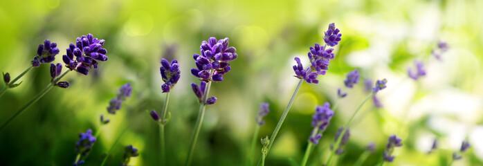 Sunshine on blue lavender flowers. Nature background.
