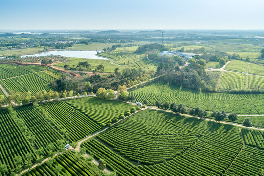 Overview of China's Green Tea Gardens