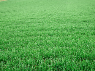 Pole pszenicy - wiosna