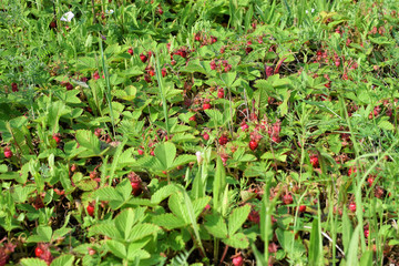 Harvest of red strawberries in the meadow with green grass