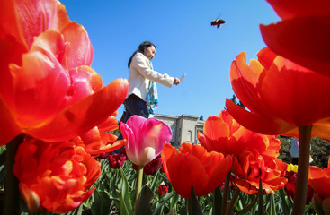 A woman photographs tulips during a flower show at the Nikitsky Botanical Garden outside Yalta