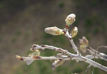 Spring bud on bare branch of wisteria