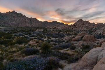 Desert Wildflowers at sunset in Joshua Tree National Park