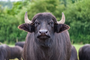 A close up of a domesticated buffalo on a farm. The animal is facing the camera; other buffaloes and green trees can be seen in the background.