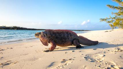 Echsen am Strand von Exuma, Bahamas