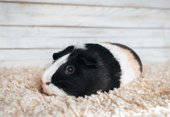 A sad guinea pig is resting and bored in his house. Portrait of a cute pet on a woolen and wooden background. Copy space, poster, advertisement. Thick pig with a big mustache. Beautiful picture.