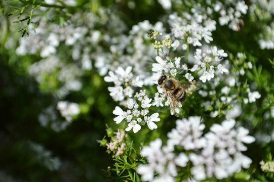Coriander flowers in garden