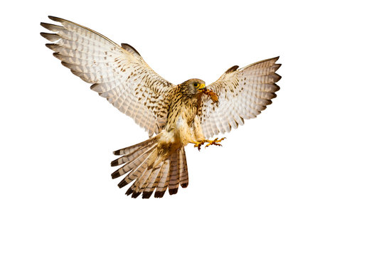 Flying Falcon. Isolated birds. White background. Lesser Kestrel. Falco naumanni.