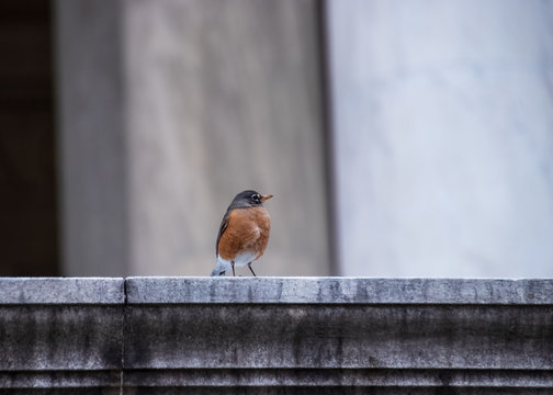 Robin redbreast with puffed up feathers, sitting on a ledge at the Jefferson Memorial