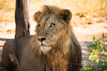 Leão macho descalça e posa na savana