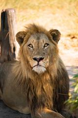 Leão macho com boca ensanguentada encarando na savana