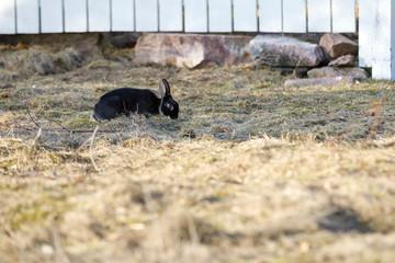 Black rabbit eats grass on a field