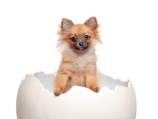 Portrait of a spitz puppy in the egg shell at the white background