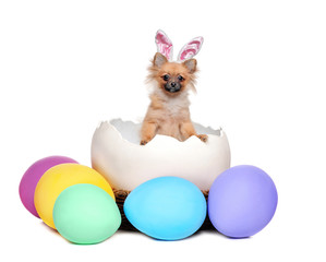 Llittle spitz puppy wearing Easter bunny ears sitting in the giant egg shell against white background