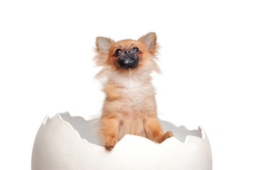 Red spitz puppy in the egg shell looking up to the copy space area