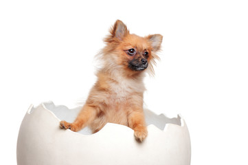 Spitz puppy sitting  in the Easter egg looking to the side
