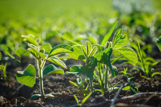 Glycine max, soybean, soya bean sprout growing soybeans on an industrial scale. Products for vegetarians. Agricultural soy plantation on sunny day.