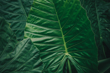 Wall Mural - Large foliage of tropical leaf with dark green texture, abstract nature background. vintage color tone.