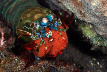 Incredible Underwater World - Peacock mantis shrimp - Odontodactylus scyllarus. Diving and underwater macro photography. Tulamben, Bali, Indonesia.