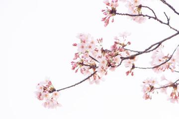 Papiers peints Fleur de cerisier 桜 満開